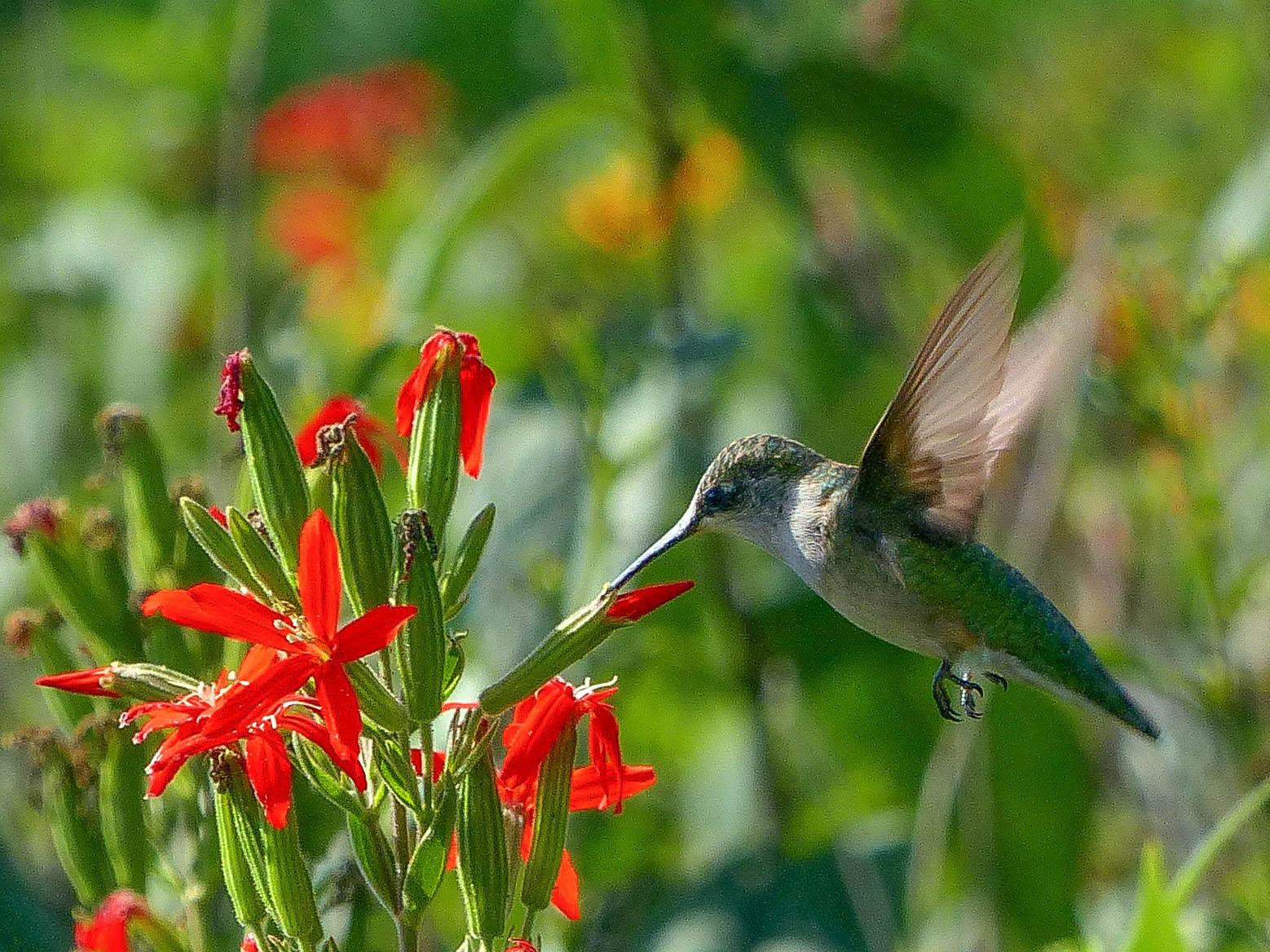Hummingbird 7 LL 3 best ever 1 073116 Bigelow Cemetary cp1 (1)