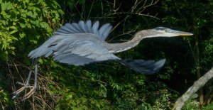 bird-3-great-blue-heron-in-flight-1-lr-1-092016-griggs-paddle-cp1