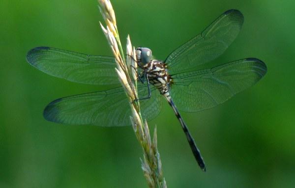 Dragonfly1 mystery1 061918 Prairie Oaks fz200 fix