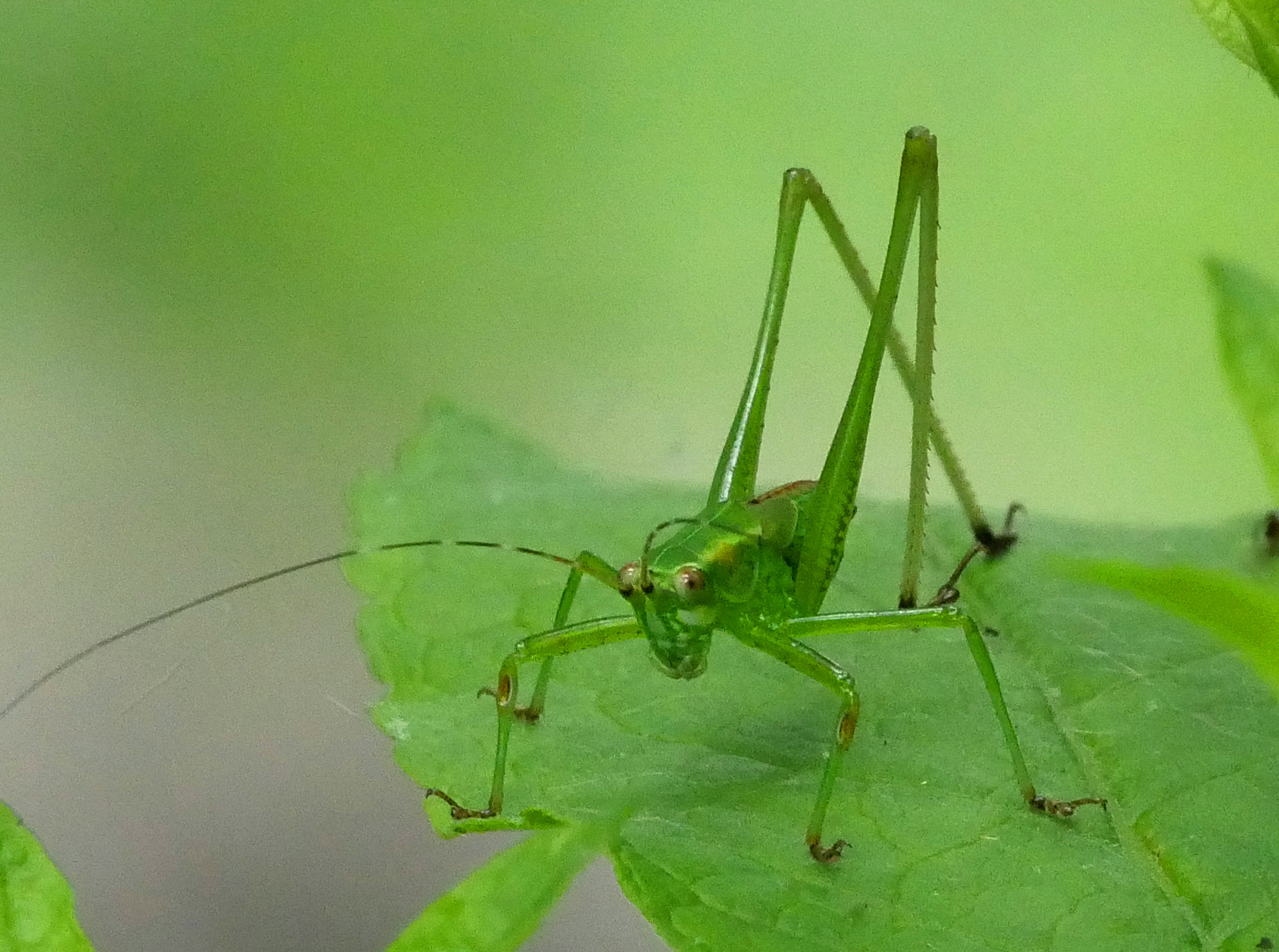 Katydid adult1 LL1 best1 06118 Griggs N birdcam fix