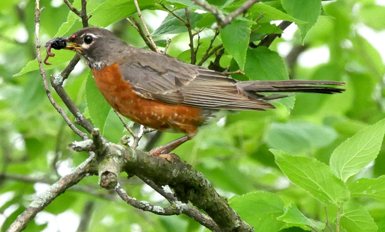 Robin w worn1 LL1 061218 Griggs N birdcam fix