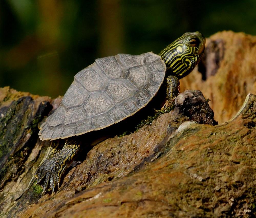 Turtle2 map baby1 LR1 060618 griggs paddle birdcam fix