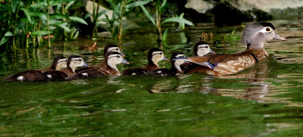 Wood duck mom and babies2 LR2 060618 Griggs paddle birdcam fix