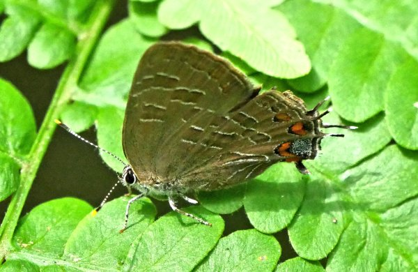 Banded Hairstreak1 LL1 071718 MI trip birdcam fix