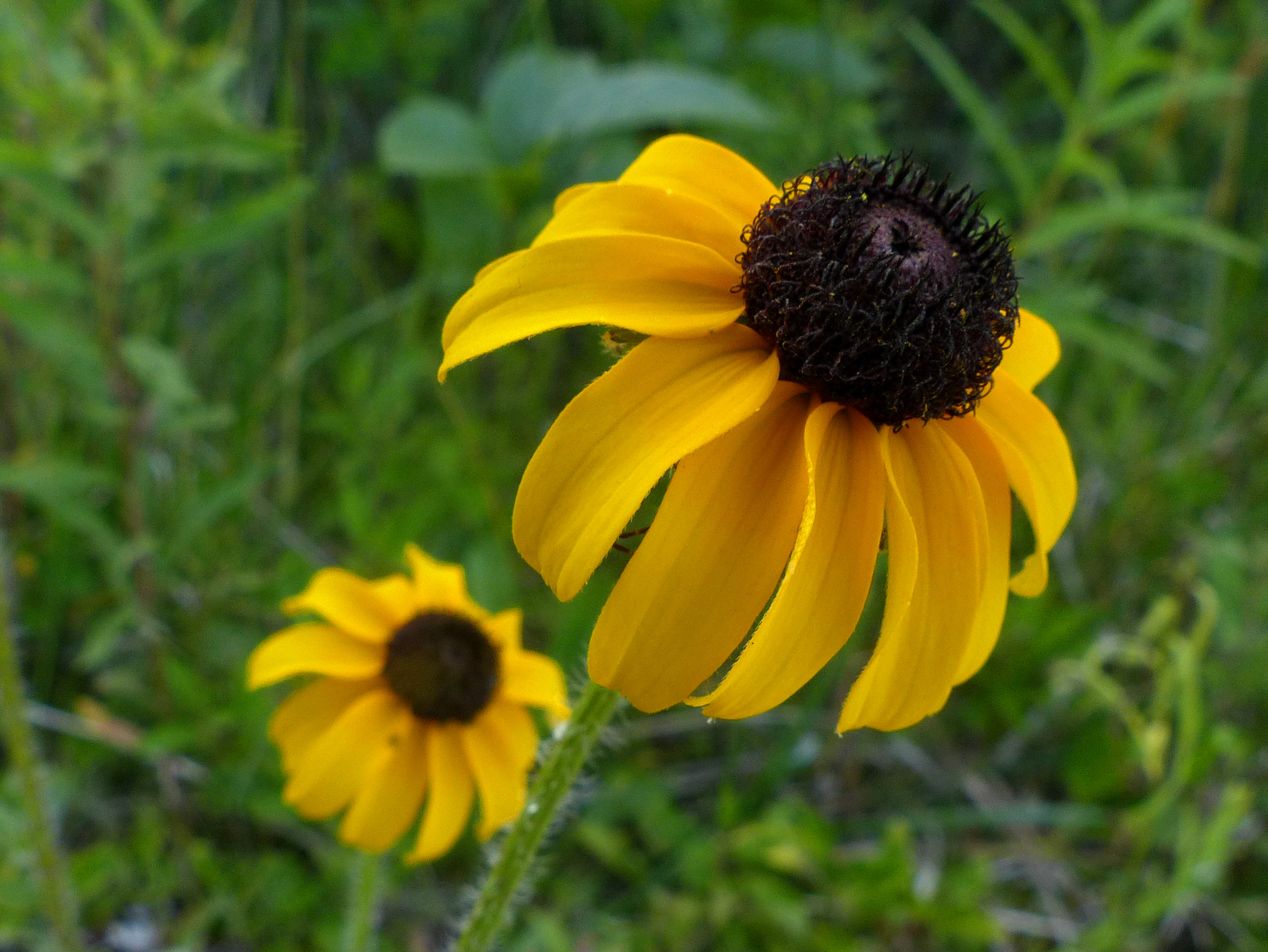 Black-eyed Susan1 070918 MI trip fz200 fix