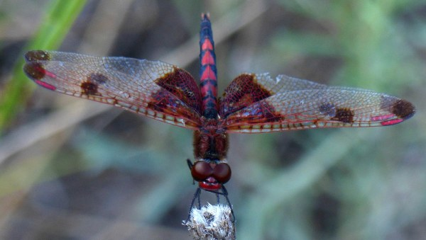 Calico Pennant3 headon3 wiping mouth1 071518 MI trip fz200 fix