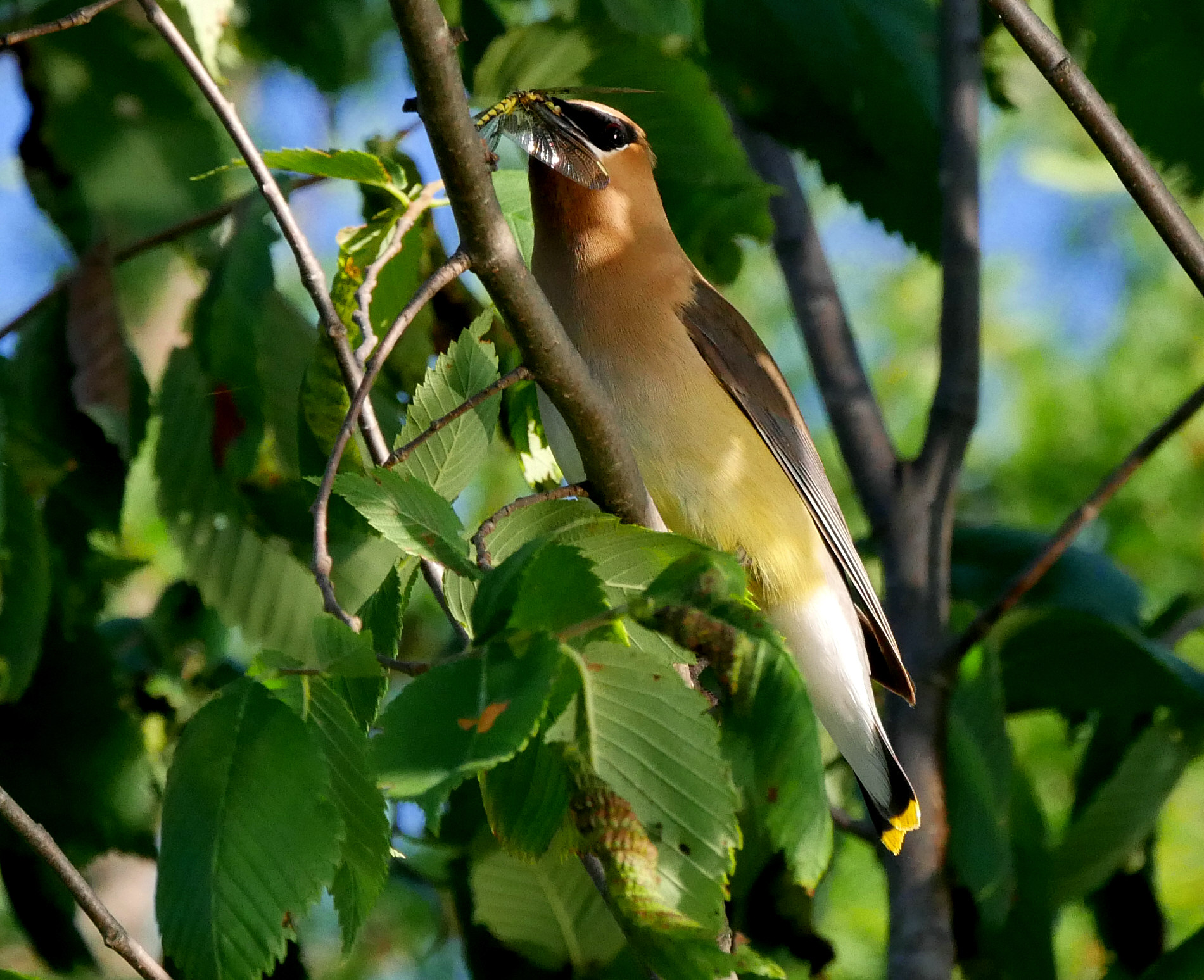 Cedar Waxwing2 LL wbug1 070918 Michigan trip fix
