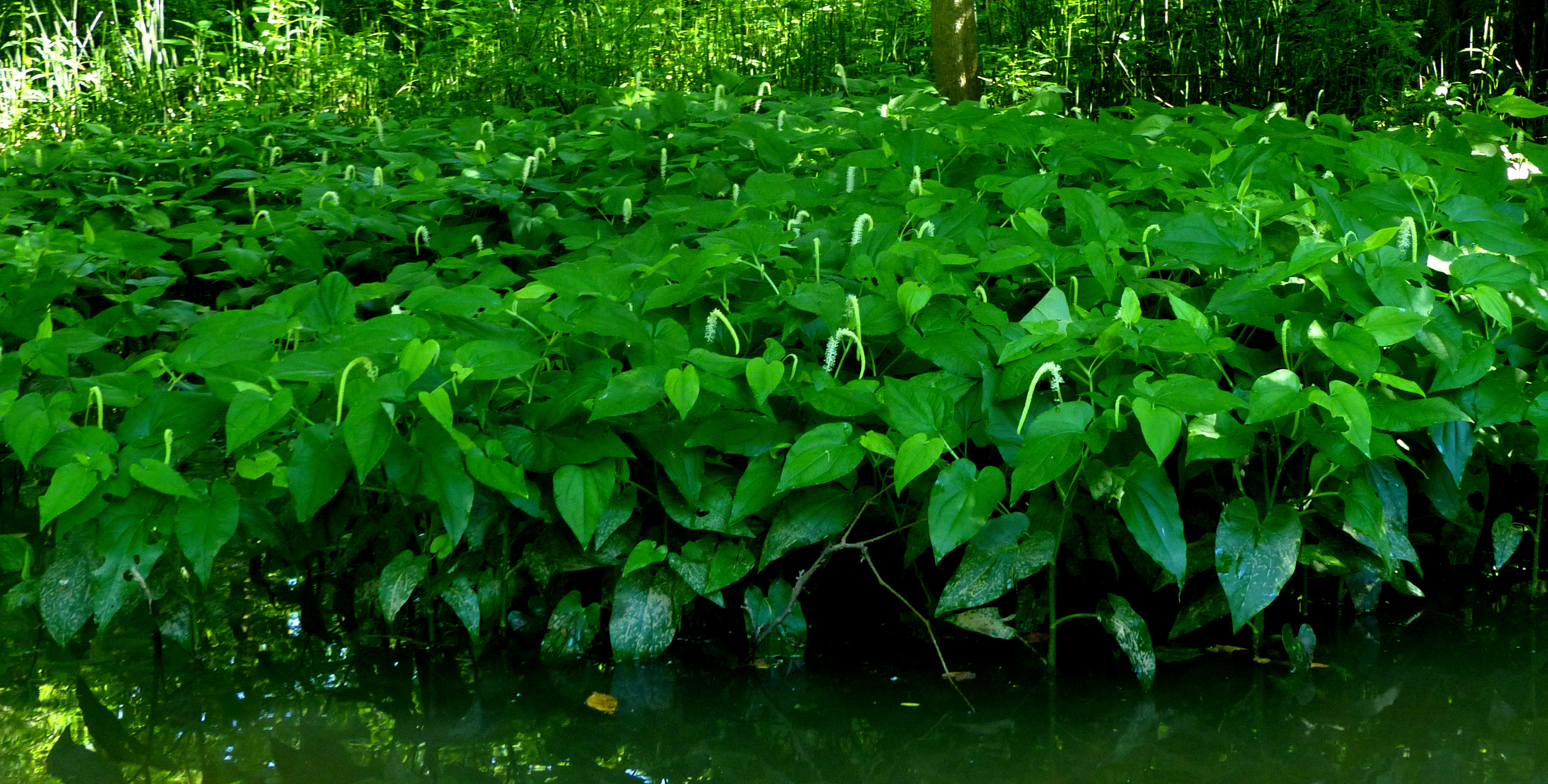 Lizard's Tail Landscape2 062918 Alum Creek paddle fz200 fix