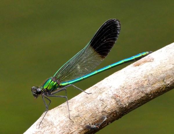 River Jewelwing4 LL2 best2 071218 MI trip birdcam fix