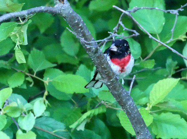 Rose-breasted Grosbeak2 LL1 071018 MI trip birdcam fix