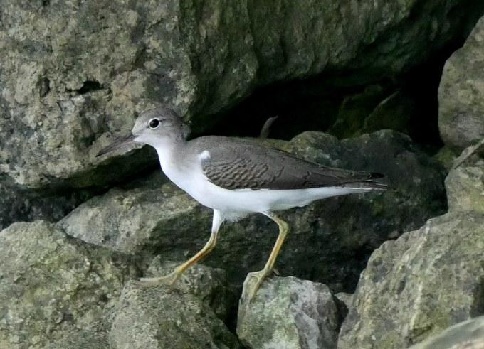 Sandpiper1 LL1 062918 Alum Creek paddle birdcam fix