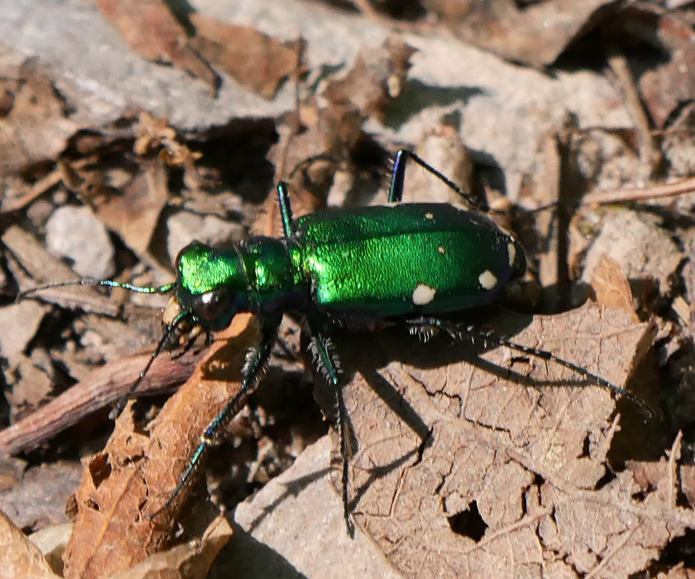 Six-spotted Tiger Beetle1 LL1 071118 MI trip birdcam fix