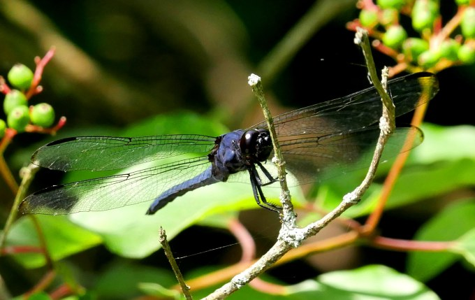 Slaty Skimmer2 headon2 best1 062918 Alum Creek paddle birdcam fix