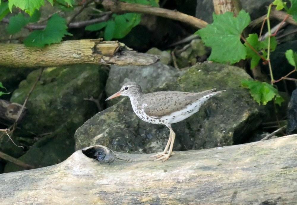 Spotted Sandpiper2 LL1 062918 Alum Creek paddle birdcam fix
