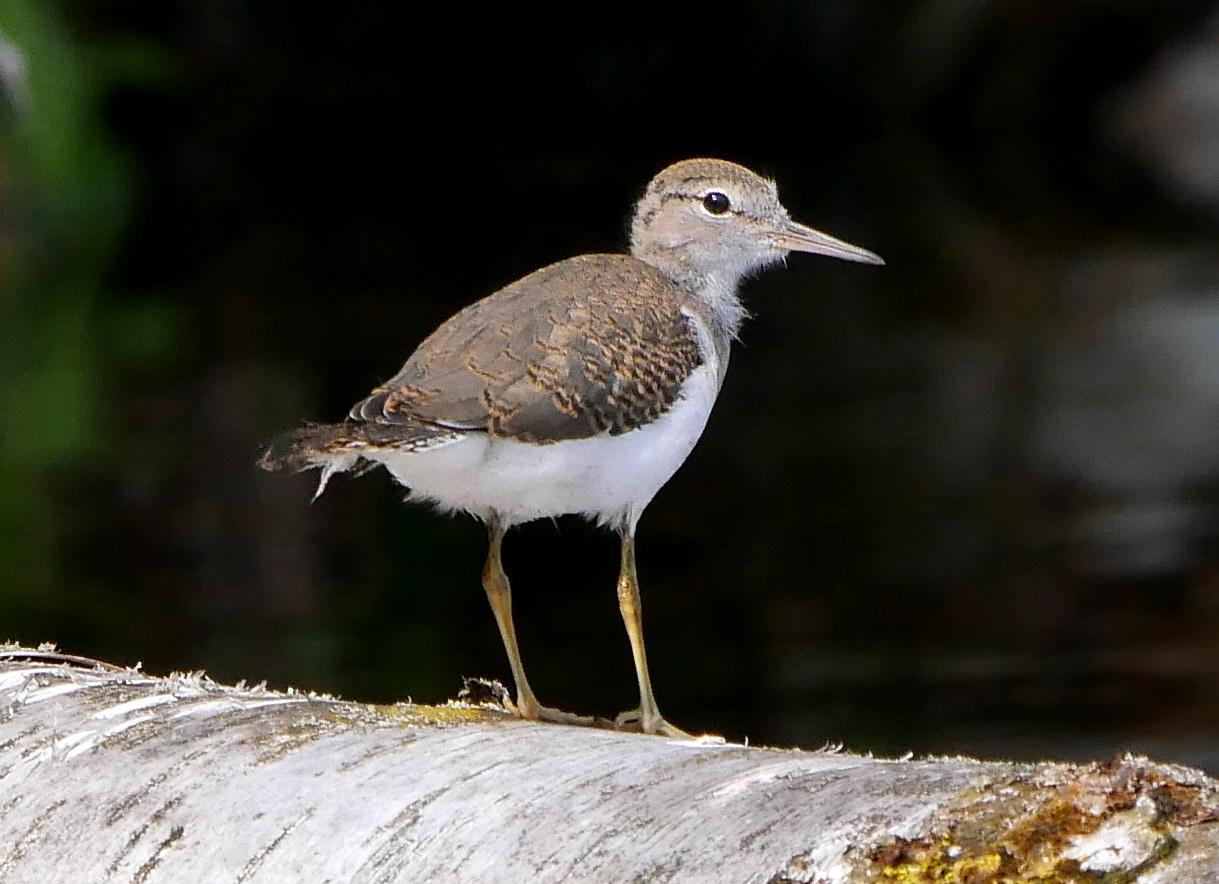 Spotted Sandpiper5 juvLR2 best1 071218 MI trip birdcam fix